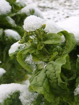 28年菜の花に雪